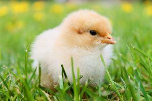 chicks-349035_1280