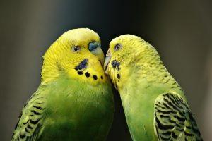 parrots-1729965_1280