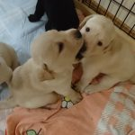 盲導犬の卵たち 生後3週間 ラブラドール・レトリーバーの子犬