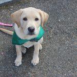 ラブラドールの仔犬生後3ヶ月は立派に犬だ~!