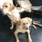 【ラブラドールを飼う】 大型犬2頭との暮らし