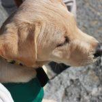 【キャリアチェンジ犬】盲導犬にならなかった候補犬はどうなるの?