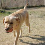ラブラドールと暮らすなら ~その3~ 近所に大型犬が少ない問題!
