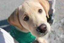 盲導犬パピー