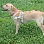 盲導犬はこんなふうに、お仕事してます。スーパードッグじゃないんです。。。。。